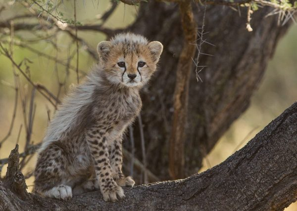 Cheetah Cap in Serengeti