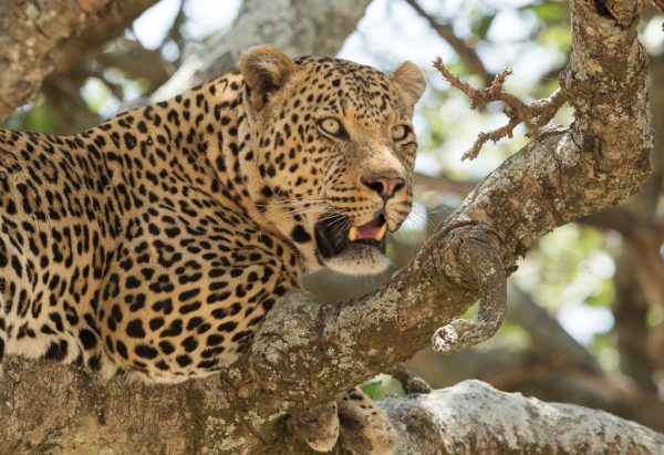 Leopard resting on the tree, in Serengeti