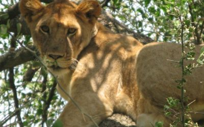Lion in Lake Manyara