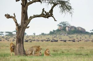 Lions and Wildebeest in Serengeti