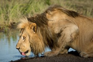 Male Lion Drinking Water in Ndutu Area, Serengeti