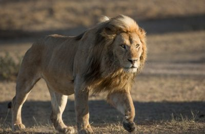 Male Lion Walking in Ndutu Area, Serengeti
