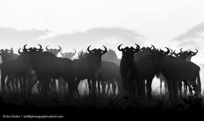 Wildebeest in Serengeti National Park