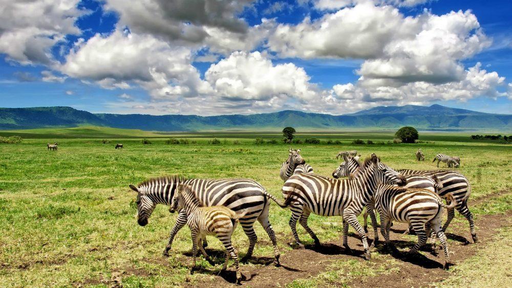 Zebra in ngorongoro