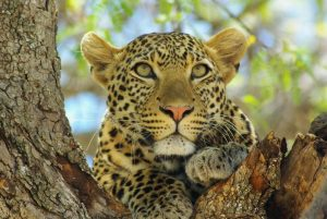 Leopard in Tree - Tarangire